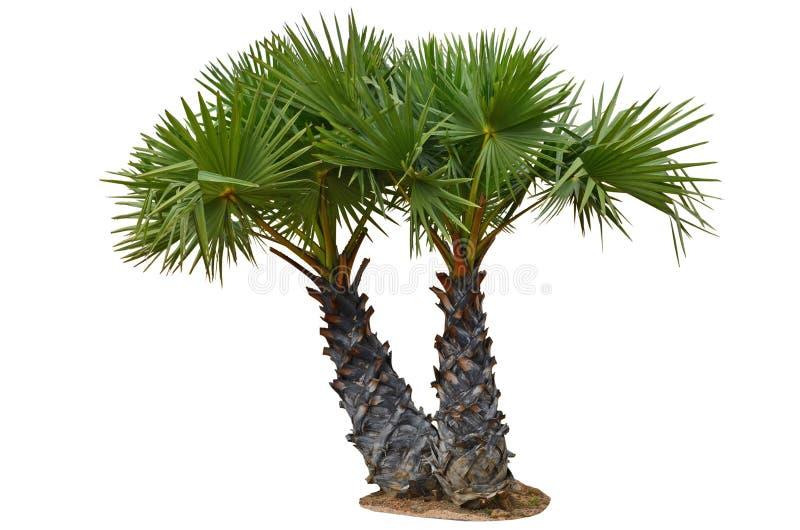 Jeunes palmiers de sucre de couples images libres de droits