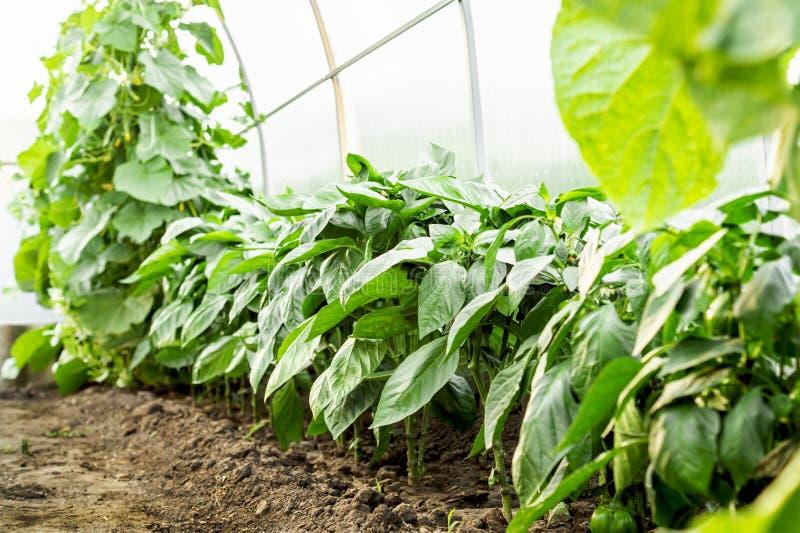 Jeunes plantes bulgares de poivron doux s'élevant en serre chaude Le concept d'élever la nourriture et les produits biologiques s image stock