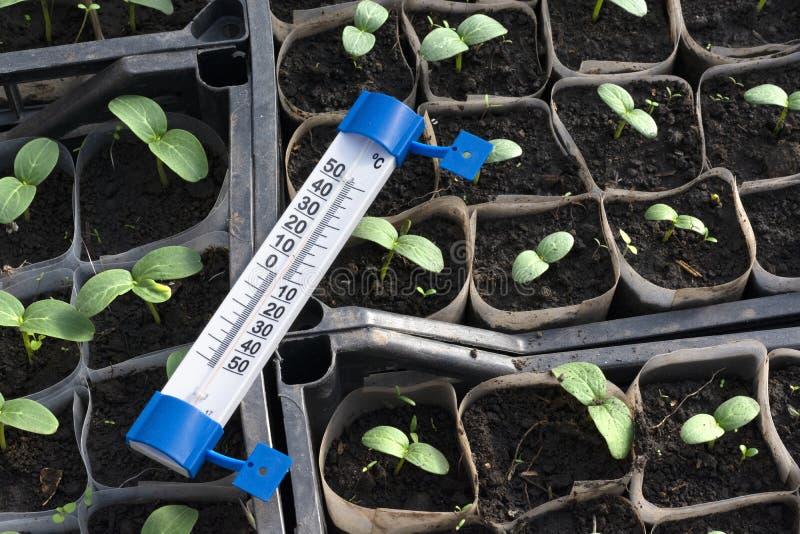 Jeunes plantes croissantes de concombre en serre chaude photos stock