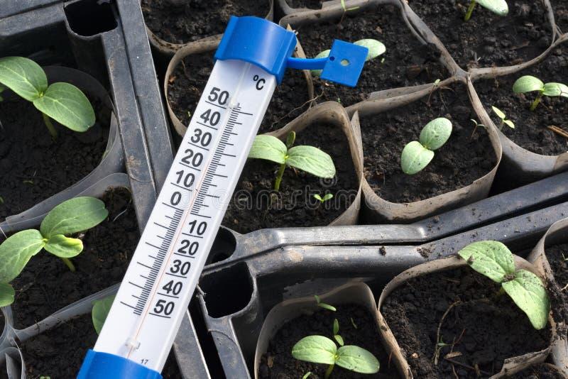 Jeunes plantes croissantes de concombre en serre chaude photo libre de droits