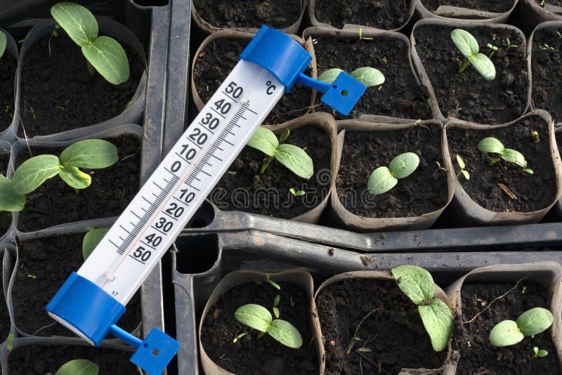 Jeunes plantes croissantes de concombre en serre chaude image libre de droits
