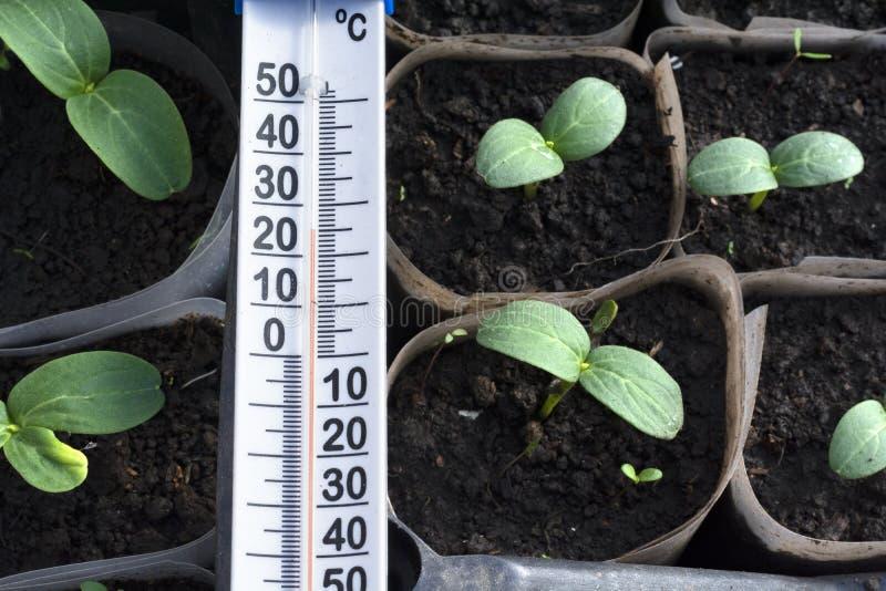 Jeunes plantes croissantes de concombre en serre chaude image stock