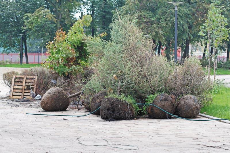 Jeunes plantes d'arbre prêtes pour planter en parc photo libre de droits