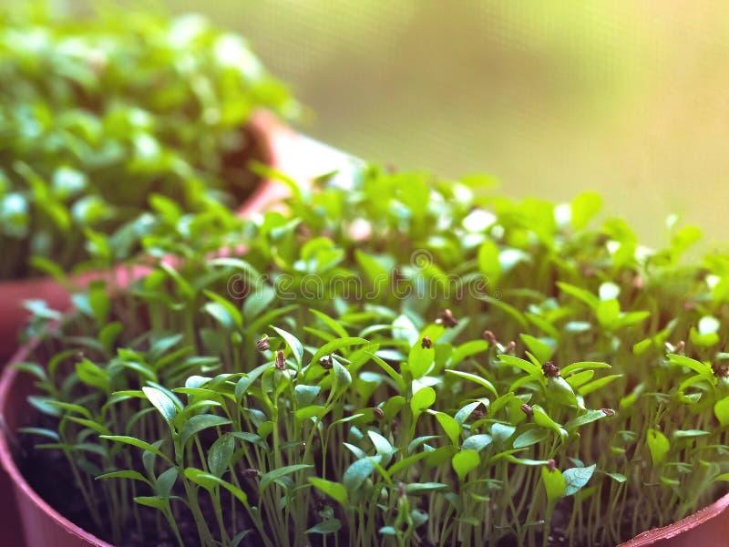 Jeunes plantes dans des pots de fleur sur le rebord de fenêtre photographie stock libre de droits