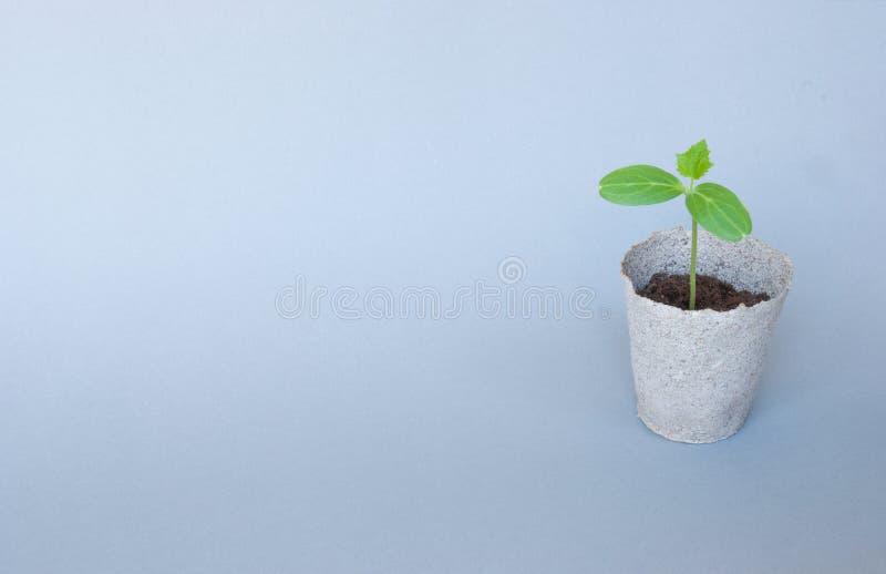 Jeunes plantes de  de cuÑ terres d'ombre dans des pots de tourbe photo stock