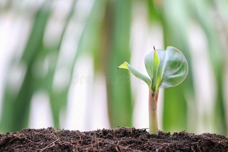Jeunes plantes de bananier sur le sol dans le potager photographie stock