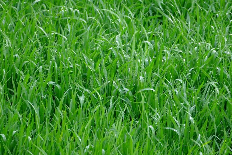 Jeunes jeunes plantes de blé photo libre de droits