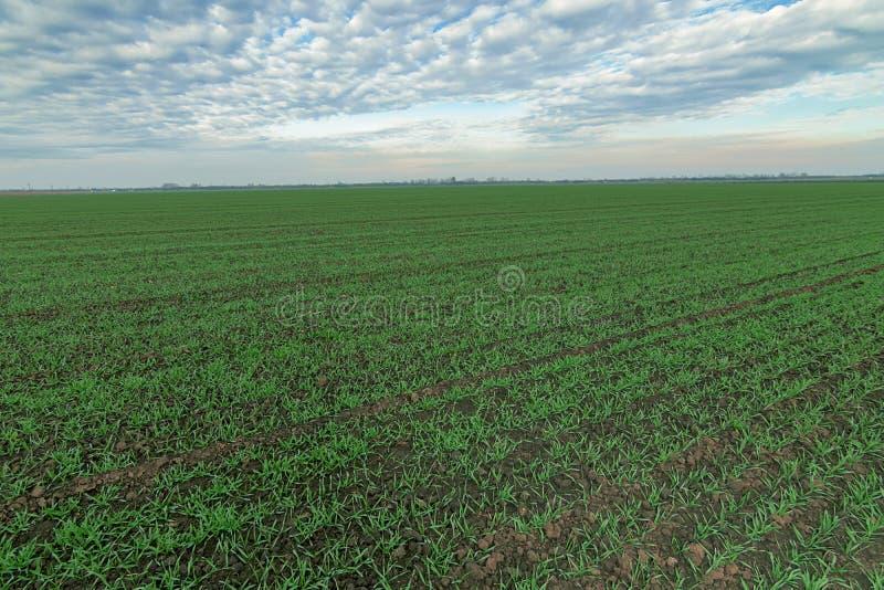 Jeunes plantes de blé d'hiver et ciel bleu Jeune blé dans le domaine photographie stock libre de droits