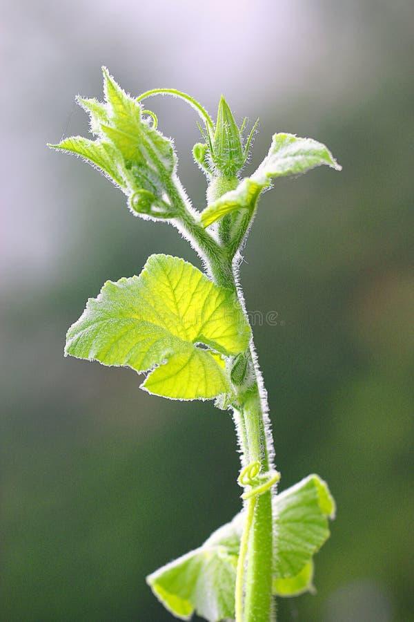 Jeunes plantes de concombre photo stock