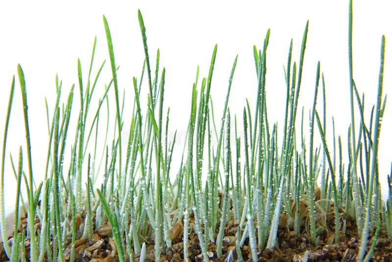 Jeunes plantes de l'herbe de chat d'orge d'isolement photographie stock