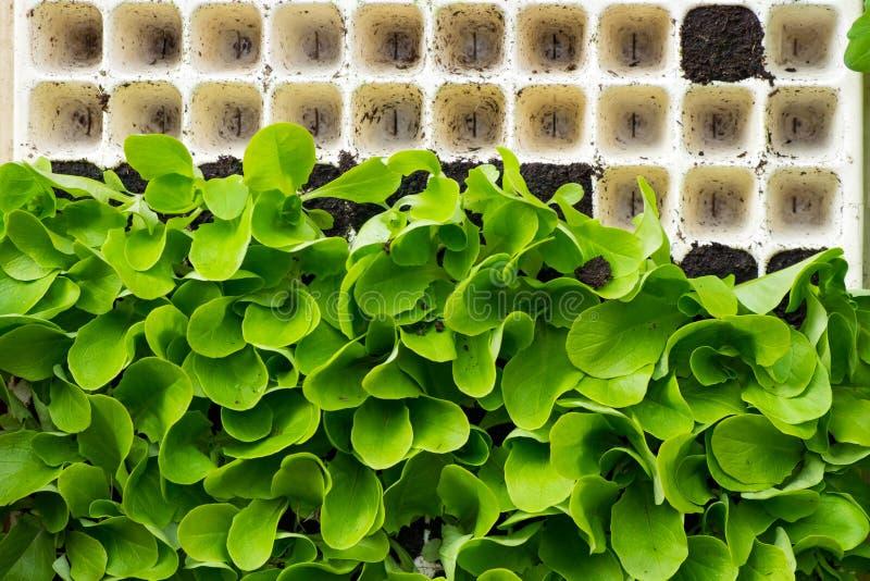 Jeunes plantes de laitue dans une boîte avant la plantation dans le jardin, acheté sur le marché image stock