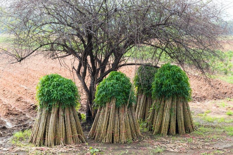 Jeunes plantes de manioc sur les complots cultivés photo libre de droits