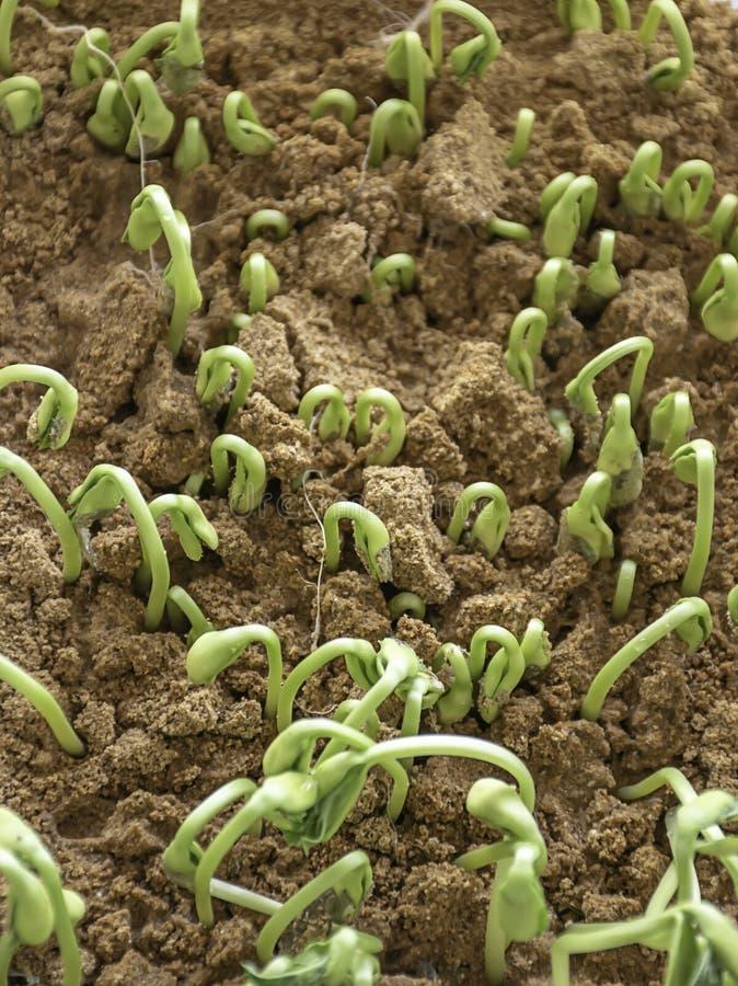 Jeunes plantes de melon d'hiver qui se développent de la graine dans le sol photos stock