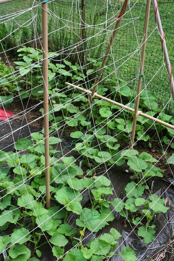 Jeunes plantes de melon s'élevant vers l'appui dans le jardin organique photos stock