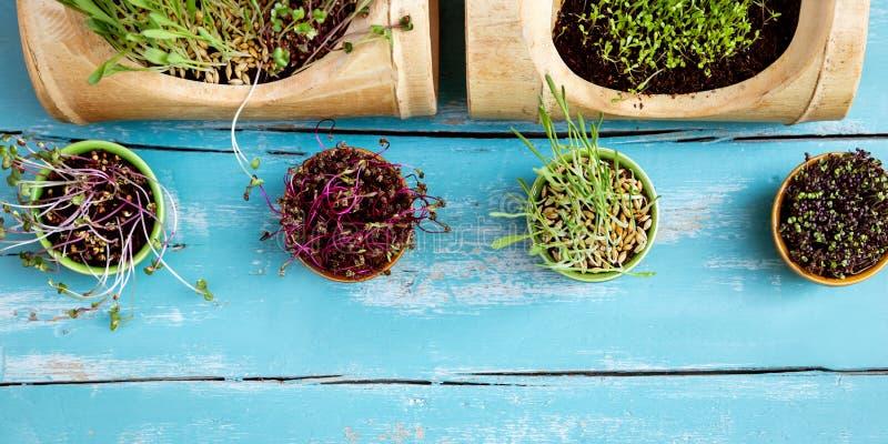 Jeunes plantes de Microgreen ou pousses sur un bleu, fond en bois de cru image libre de droits