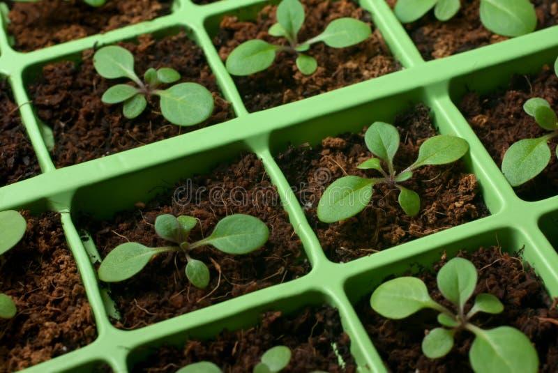 Jeunes plantes de pétunia dans le plateau de cellules (macro) photographie stock