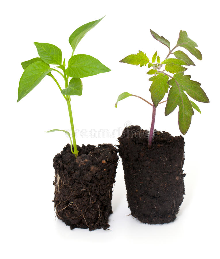 Jeunes plantes de paprika et de tomate photo libre de droits