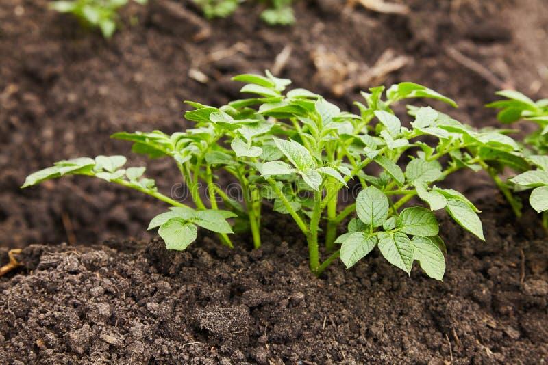 Jeunes plantes de pomme de terre s'élevant sur le sol dans les rangées photo stock