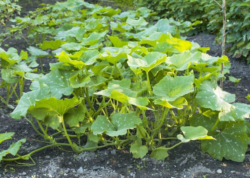 Jeunes plantes de potiron dans le jardin jeune potiron vert de buisson au printemps photographie stock