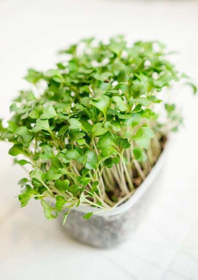 Jeunes plantes de radis photographie stock libre de droits
