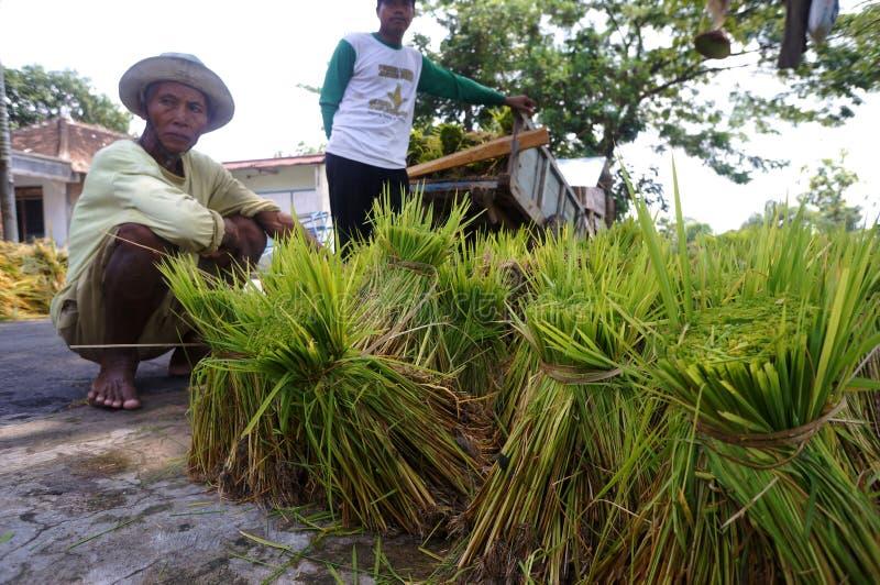 Jeunes plantes de riz photographie stock libre de droits