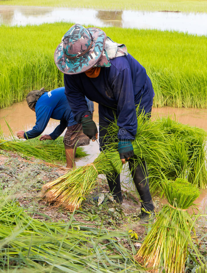Jeunes plantes de riz de coupe d'agriculteur image libre de droits
