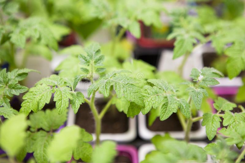 Jeunes jeunes plantes de tomate dans des pots en plastique photos stock
