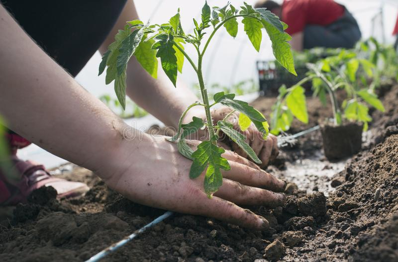 Jeunes plantes de tomate plantant en serre chaude photographie stock