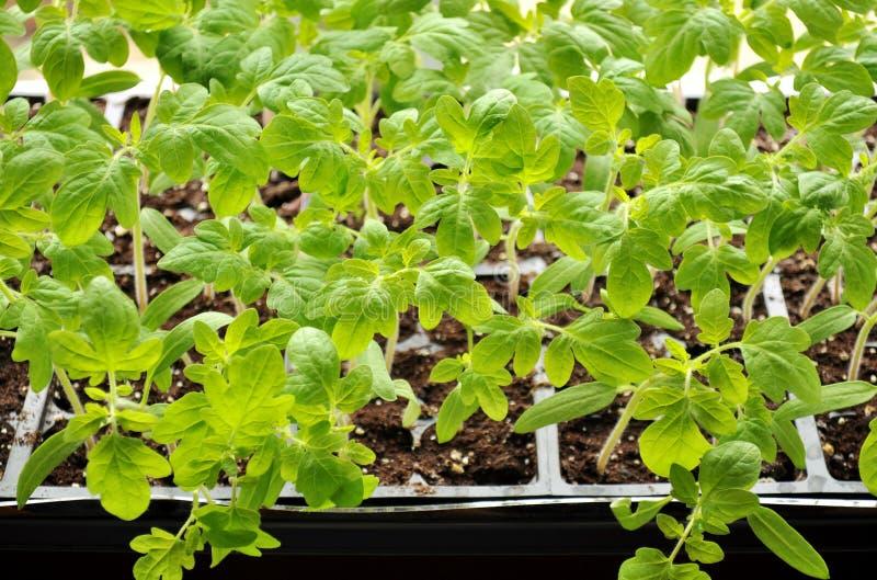 Jeunes plantes de tomate s'élevant vers la lumière du soleil sur le rebord de fenêtre images stock