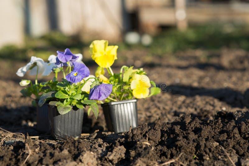 Jeunes plantes de Viollet des fleurs photographie stock