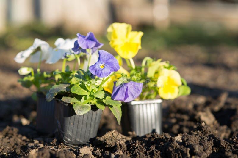 Jeunes plantes de Viollet des fleurs photos libres de droits