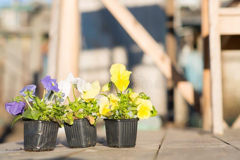 Jeunes plantes de Viollet des fleurs photos stock