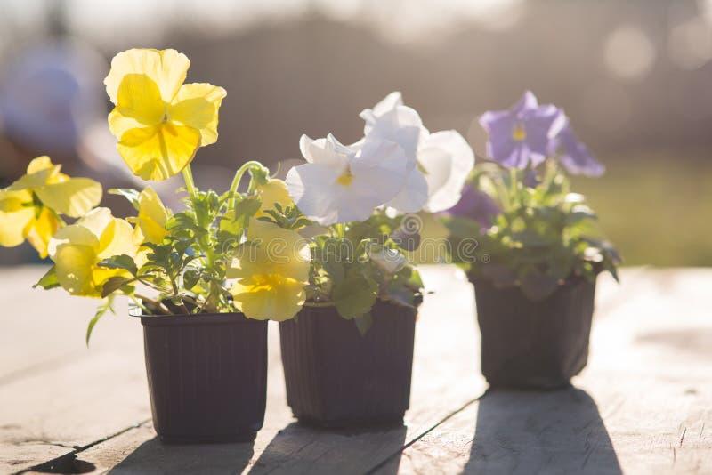 Jeunes plantes de Viollet des fleurs image stock