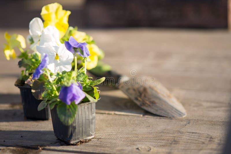 Jeunes plantes de Viollet des fleurs photo libre de droits