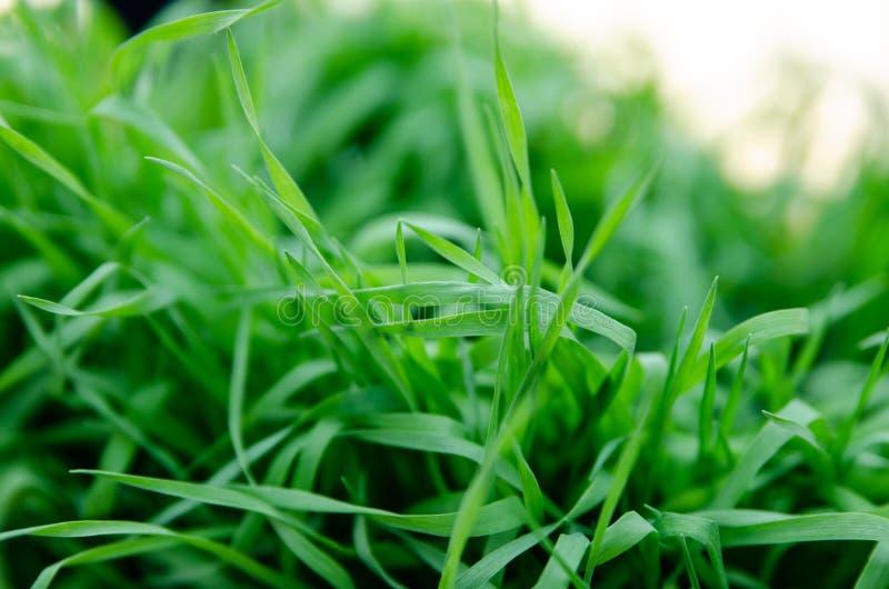 Jeunes plantes en gros plan de blé photo libre de droits