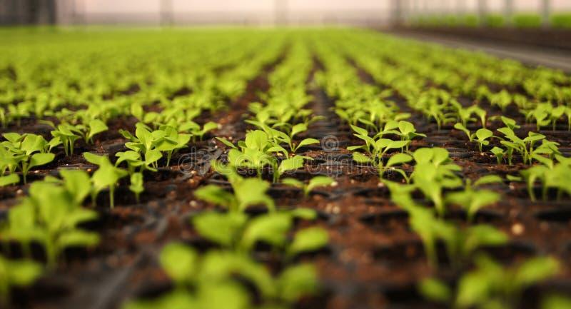 Jeunes plantes en serre chaude Salade photo stock