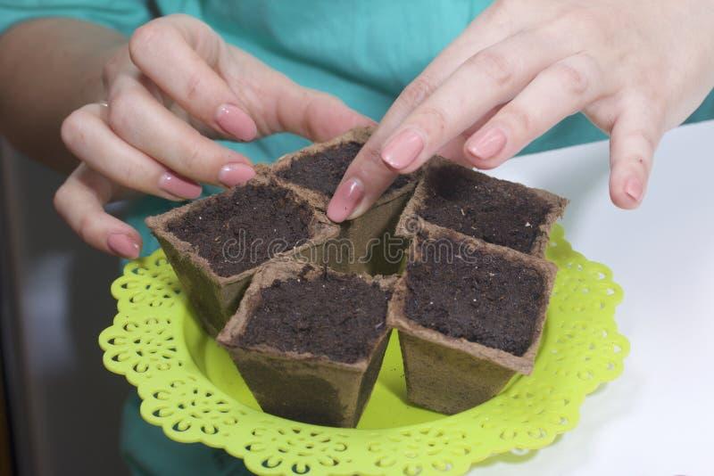 Jeunes plantes grandissantes à la maison Une femme met des pots de tourbe remplis de terre sur un plateau photo stock