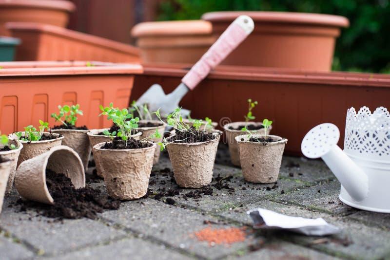 Jeunes plantes mises en pot s'élevant dans des pots biodégradables de mousse de tourbe d'en haut images stock