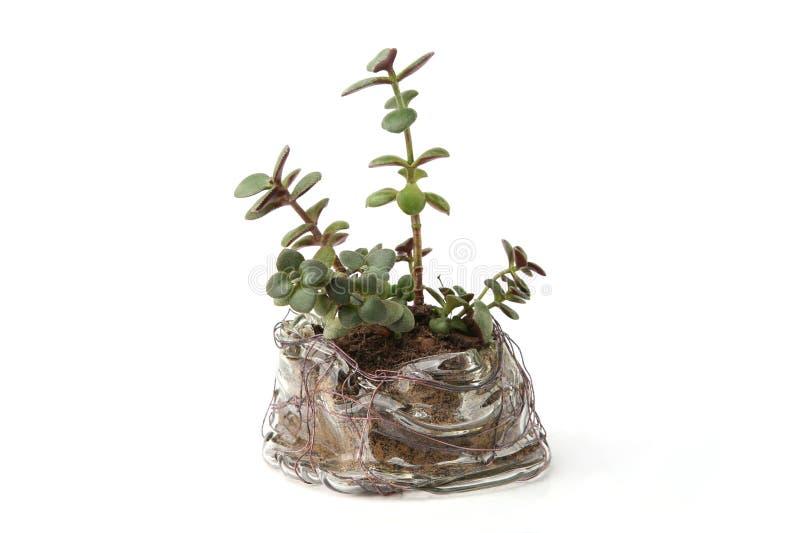 Jeunes plantes succulentes d'usine de jade dans le pot en verre photographie stock