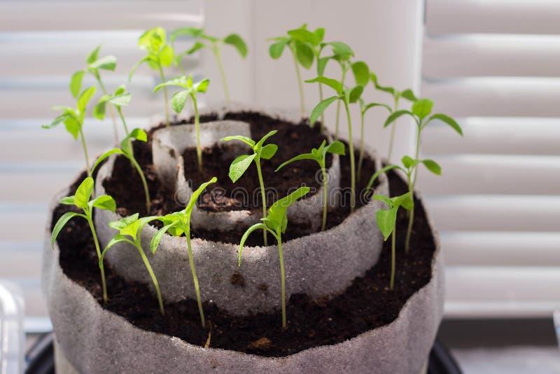 Jeunes plantes sur le rebord de fenêtre Jeunes plantes de poivre, jeunes plantes de tomate, plan rapproché photographie stock