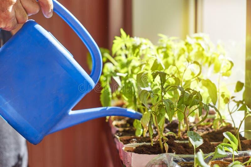 Jeunes plantes végétales de arrosage d'agriculteur photos stock