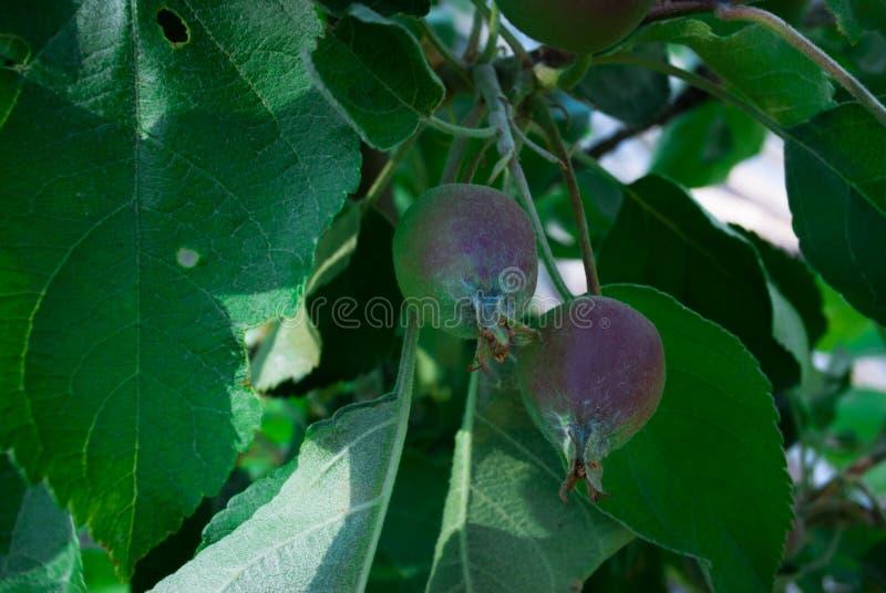 Jeunes pommes organiques pendant d'une branche d'arbre dans un orch de pomme photo libre de droits