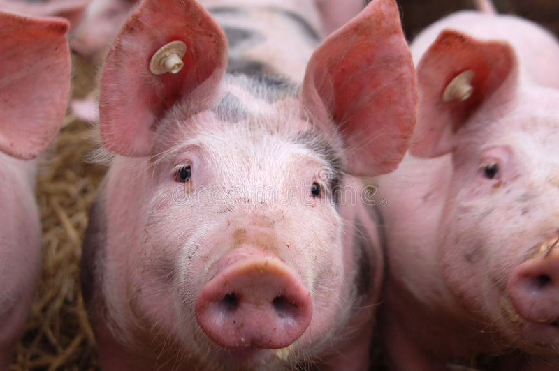 Jeunes porcs images libres de droits