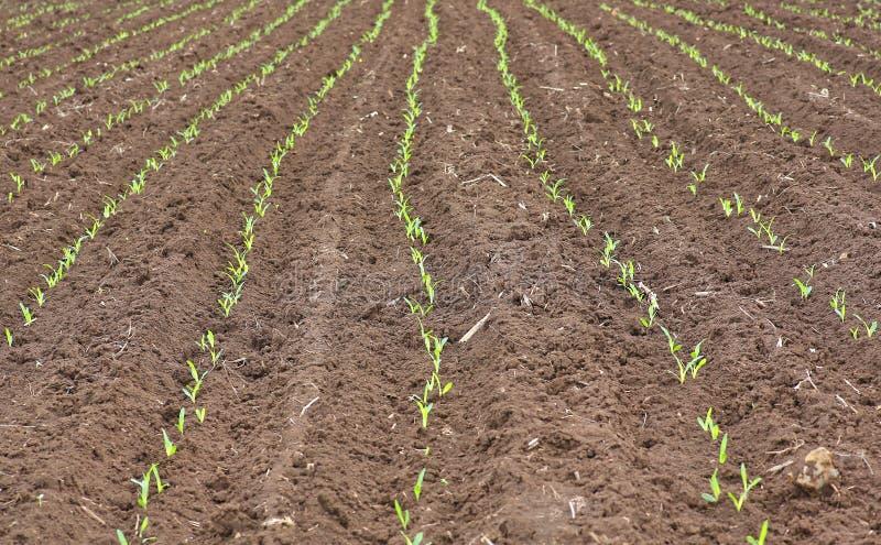 Jeunes pousses croissantes de jeune plante de maïs vert dans le domaine agricole cultivé de ferme photo libre de droits