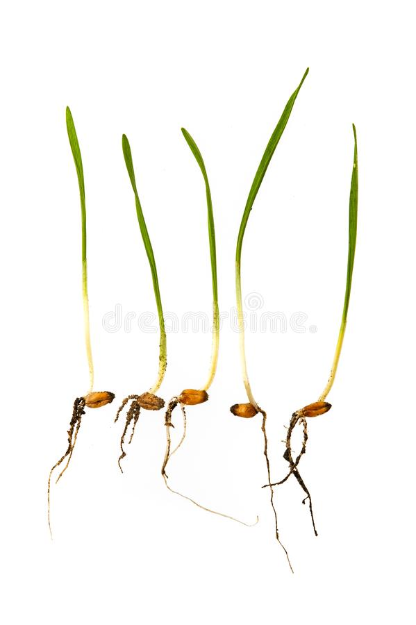 Jeunes pousses de blé images stock