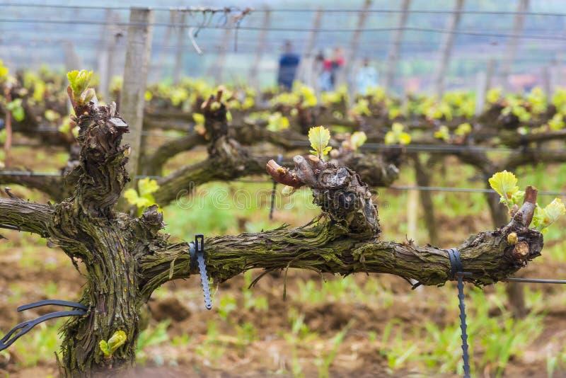 Jeunes pousses de raisin au vignoble photographie stock