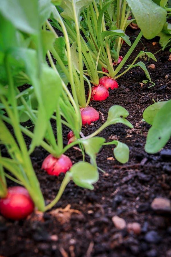 Jeunes radis s'élevant dans le jardin augmenté de lit photos stock