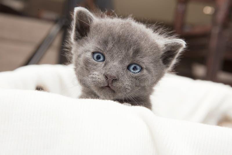 Jeunes regards gris de chat photo libre de droits