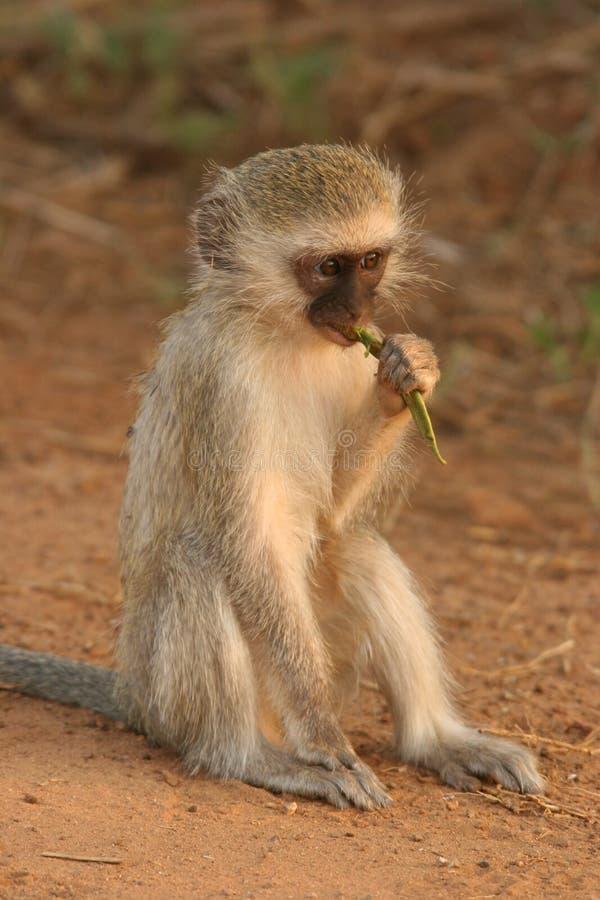 Jeunes singes de Vervet image stock