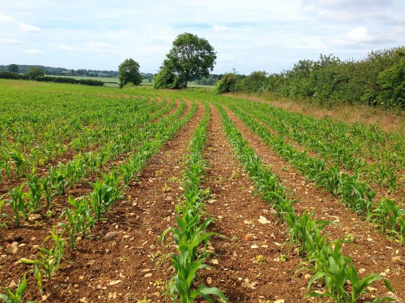 Jeunes usines de maïs dans un terrain de ferme photos libres de droits